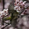 写真: 大寒桜にメジロ