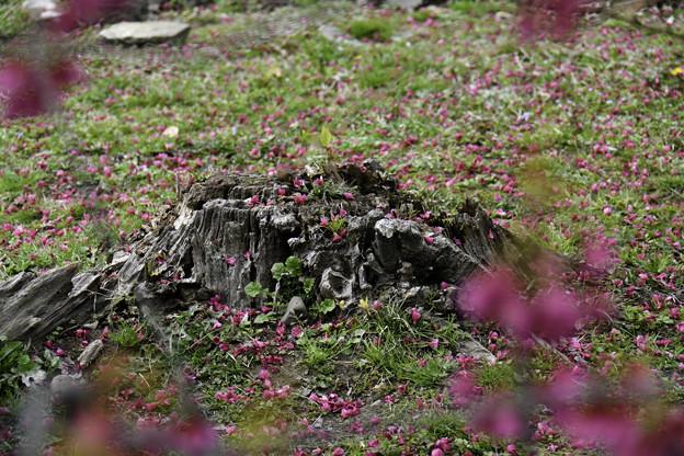 写真: 落花「寒緋桜」