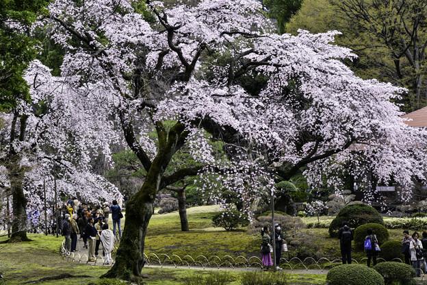 満開「しだれ桜」