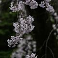 Photos: 満開「しだれ桜」