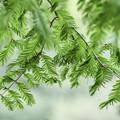 写真: 新緑「メタセコイヤ」