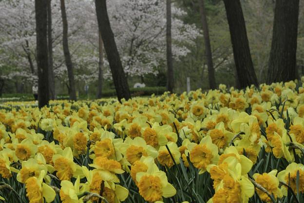 写真: 水仙の森