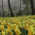 Photos: 水仙の森