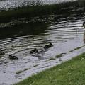 写真: 鴨のファミリー