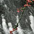 渓流に咲く
