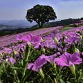 写真: 桃色吐息の丘