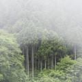 写真: 霧の杉林