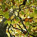 写真: 色づくプラタナス