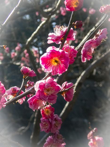 梅林坂の梅花