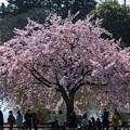 Photos: 修善寺カンザクラ