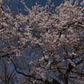 御苑の桜「枝垂桜」