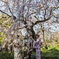 写真: 御苑の桜「枝垂桜」