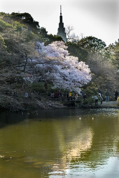 御苑の桜「高遠子彼岸桜」