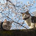 Photos: 桜猫