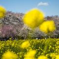 Photos: 権現堂桜堤
