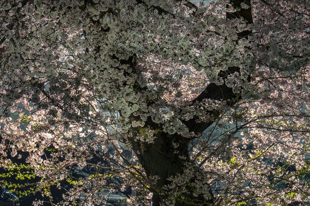 夜桜「池上本門寺」