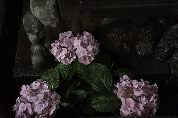 手水舎の紫陽花