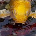 Photos: 錦鯉