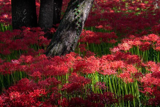 彼岸花の森