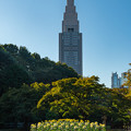 新宿御苑菊花壇展