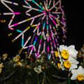 Photos: 夜の水仙