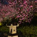 Photos: 夜の梅園