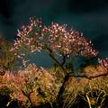 Photos: 夜の梅林