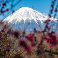 富士山の日「岩本山梅林」
