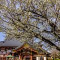 Photos: 笹部桜
