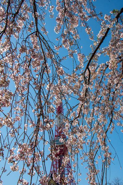 枝垂桜&タワー