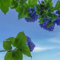 Photos: 紫陽花ブルー