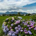 Photos: 紫陽花の里