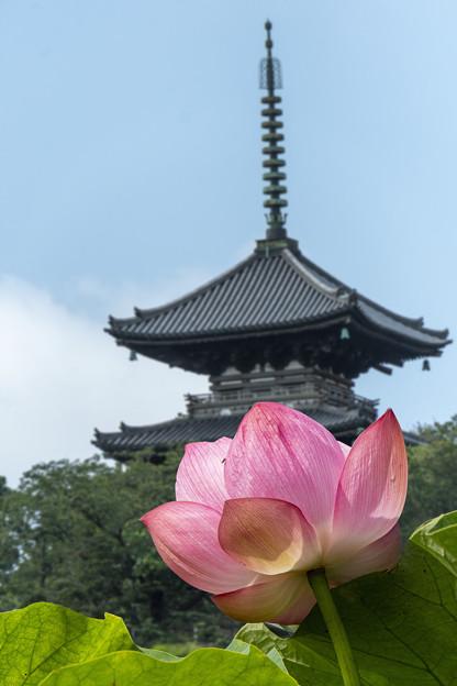 蓮花(三渓園)
