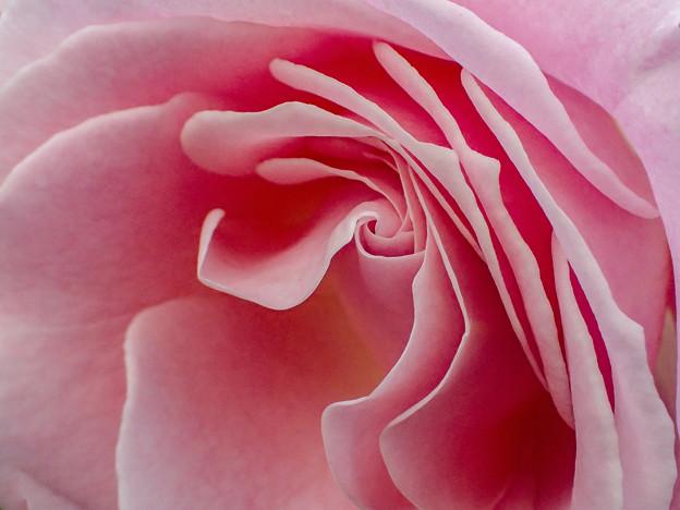 御苑のバラ (2)