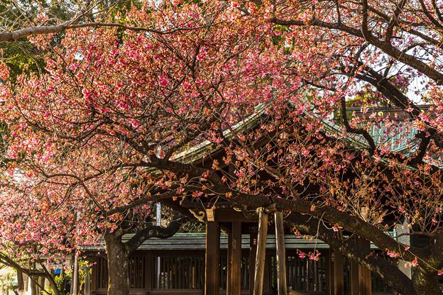 寒緋桜咲く荏原神社 (1)