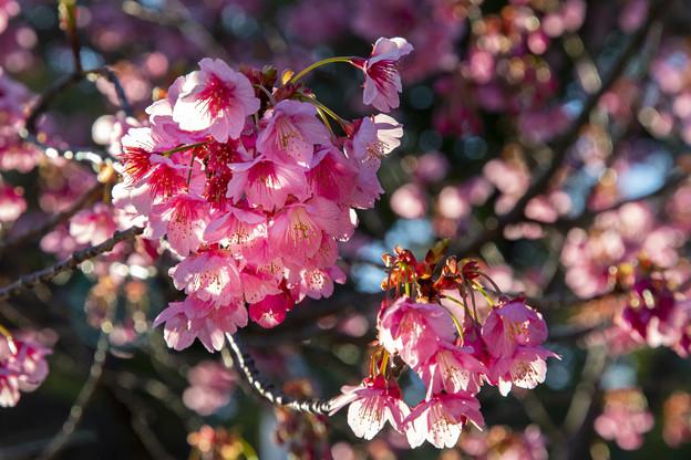 寒緋桜咲く荏原神社 (2)