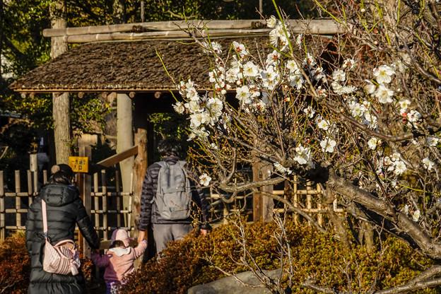 三分咲き池上梅園 (3)