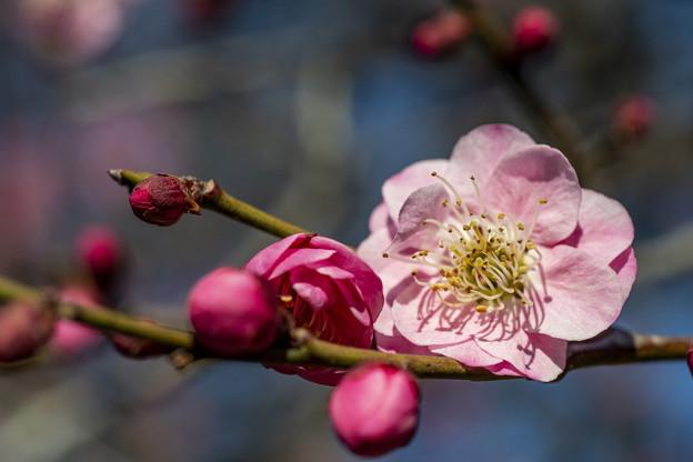 三分咲き池上梅園 (2)