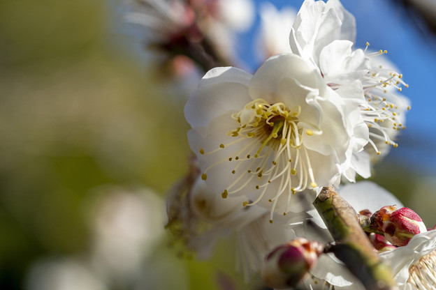 三分咲き池上梅園 (1)