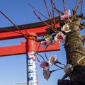 Photos: 旧穴守稲荷大鳥居&桜