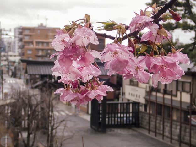 雨中 河津桜(3)