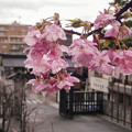 Photos: 雨中 河津桜(3)