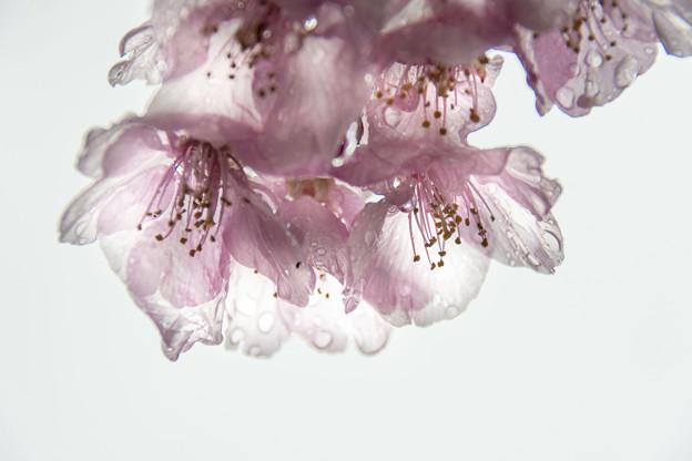 雨中 河津桜(2)