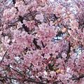 Photos: 春めく