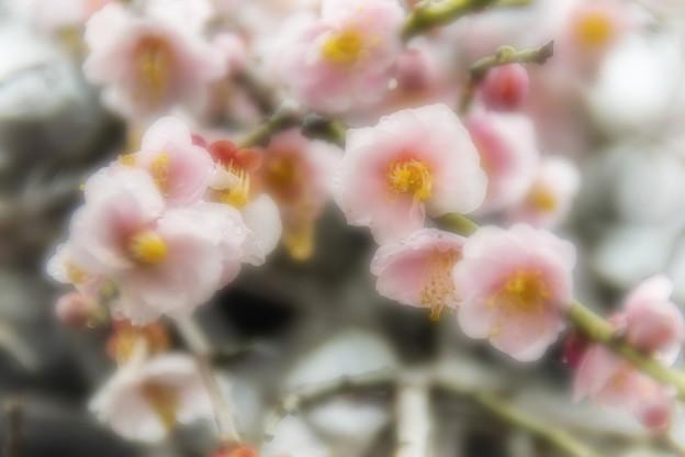 Photos: 池上梅園 (1)