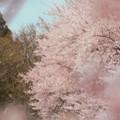 Photos: 零れ桜