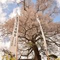写真: 天神桜と菜の花と