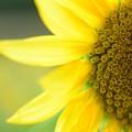 Photos: 向日葵の輝き