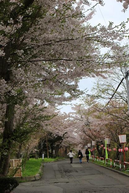 室蘭・母恋富士下 桜並木 (4)