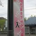 室蘭・母恋富士下 桜並木 (5)